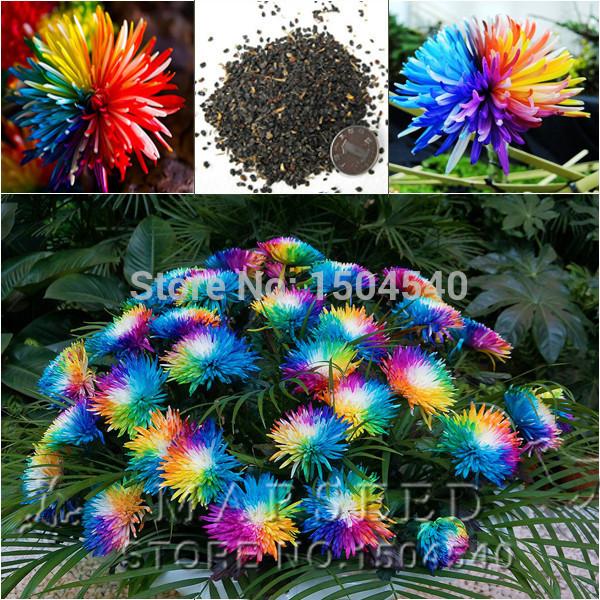 Free shipping 20 rainbow chrysanthemum flower seeds rare for Rainbow flower seeds